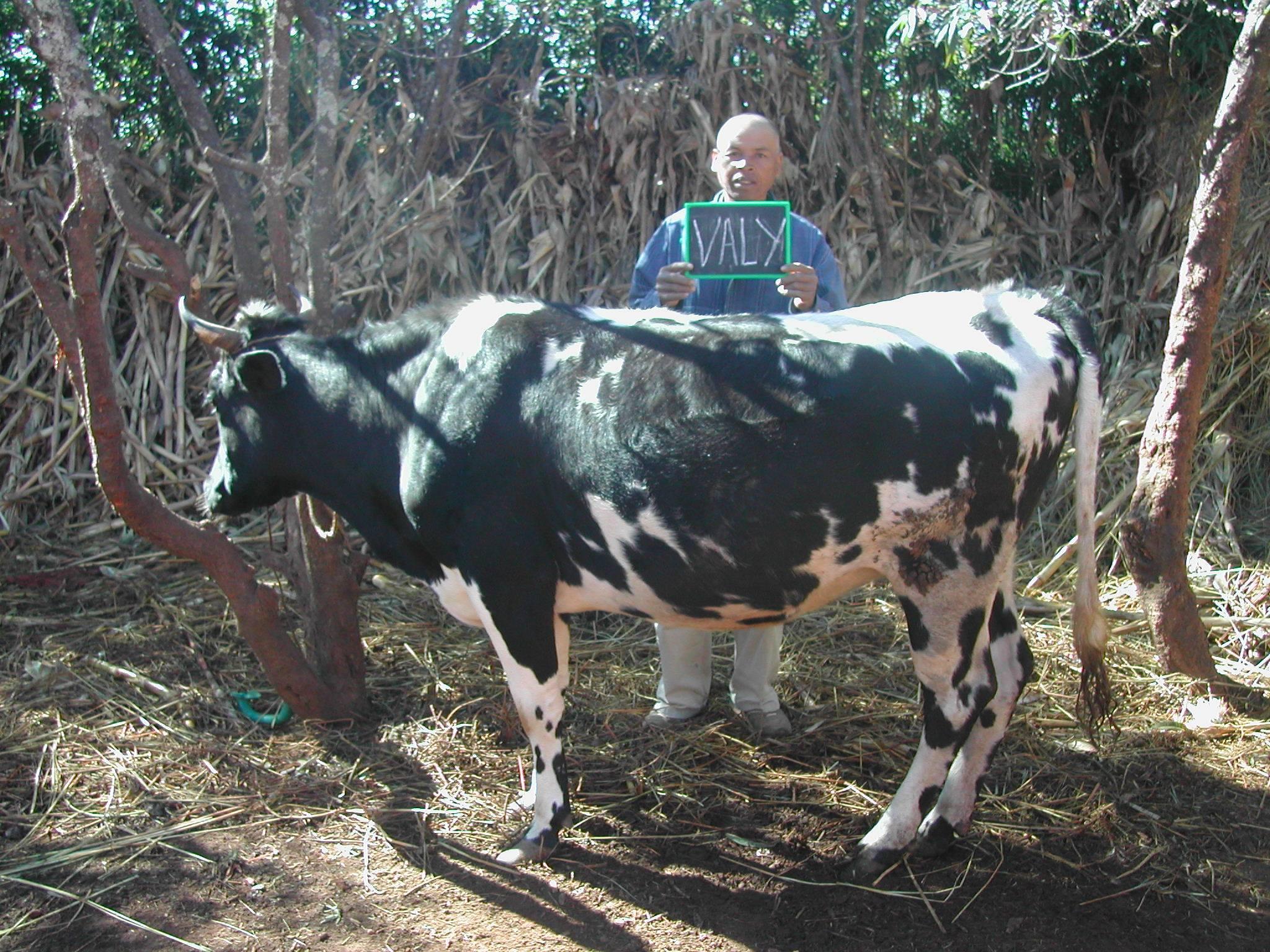Die ersten Kühe und Zebus haben schon ihre neuen Familien bekommen :-)